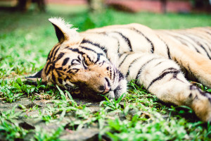 Thailand-Tiger-Kingdom-5521