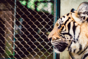 Thailand-Tiger-Kingdom-5639